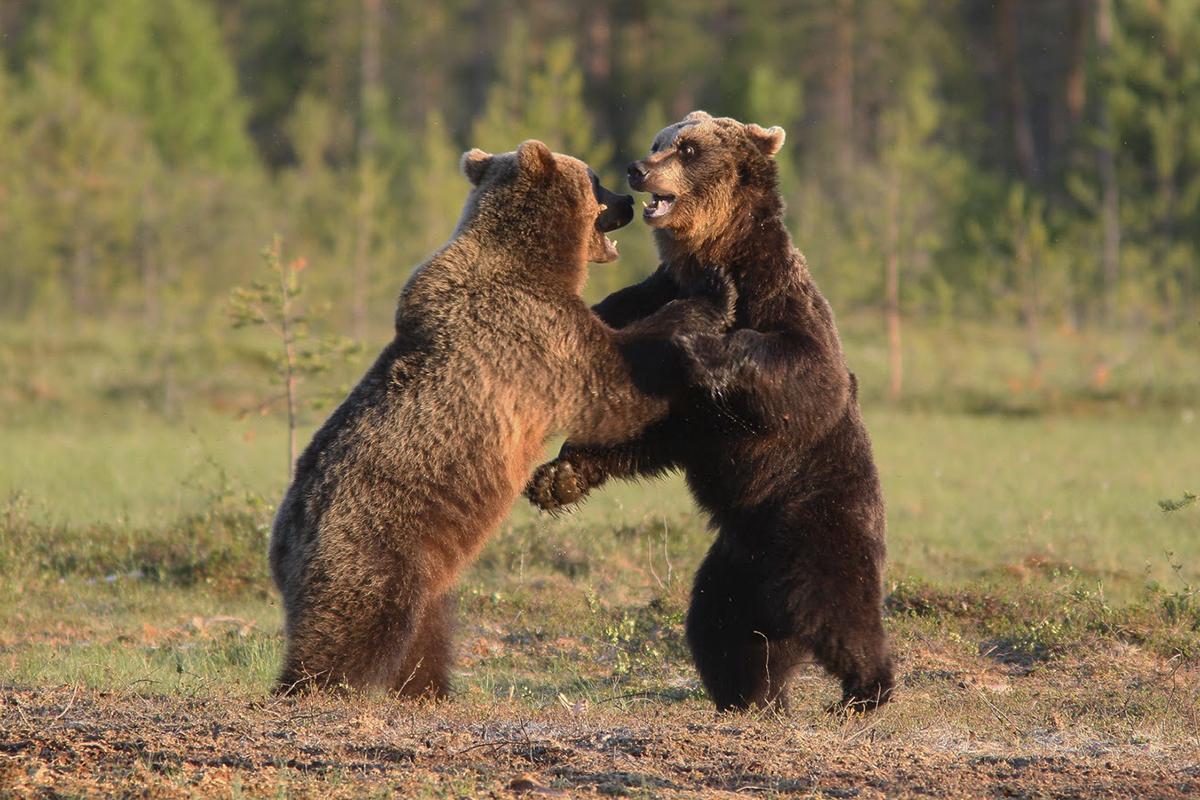 Mam w domu dwa niedźwiedzie
